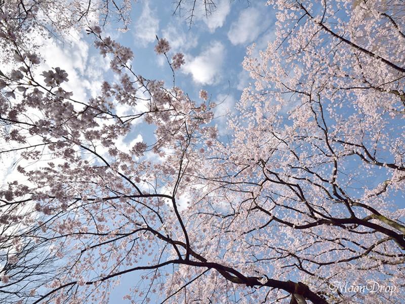 朝写ん歩レッスン☆六義園 大名庭園の大きなしだれ桜を撮ろう!の画像