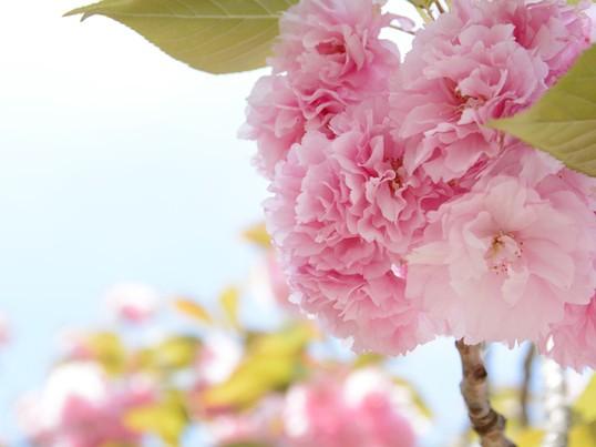 【初心者さん歓迎】3月限定・サクラ色アレンジ講座の画像