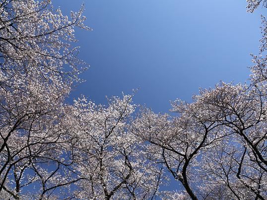 《季節限定写真講座》フィルムカメラで桜を愛でる!の画像