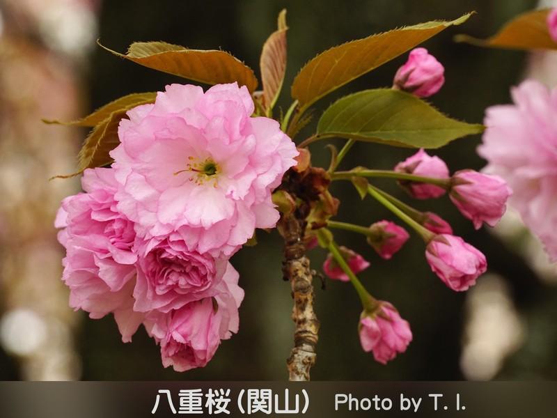 ゆく春を惜しむ…散り景色&八重桜を撮る*♪*《小金井公園》の画像