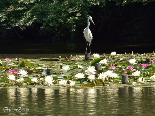 お写ん歩レッスン☆明治神宮御苑で水辺の花風景 菖蒲・睡蓮を撮ろう!の画像