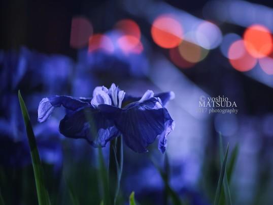 ライトアップで紫陽花と花しょうぶを幻想的に撮影しよう。の画像