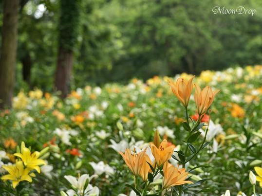 お写ん歩レッスン☆狭山丘陵の自然林に咲く美しいユリを撮ろう!の画像
