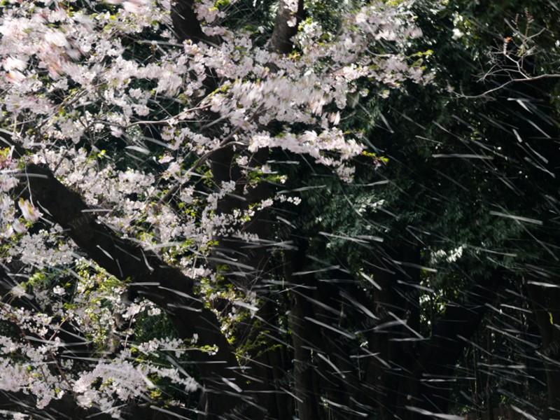 楽しめる写真講座 新宿御苑の桜 基礎編 の画像