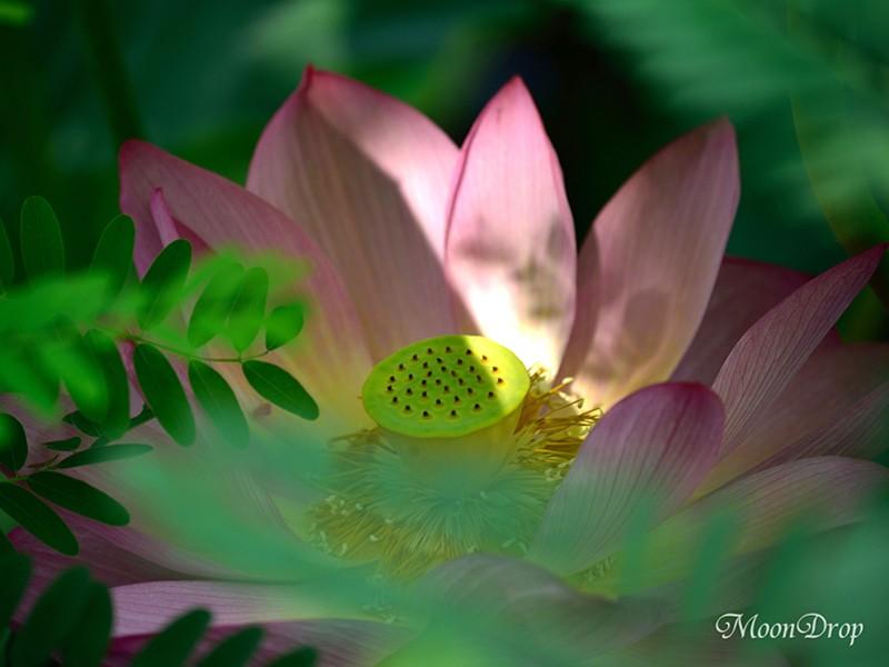 お写ん歩レッスン☆朝活☆上野不忍池に咲く神秘的な蓮の花を撮ろう!の画像