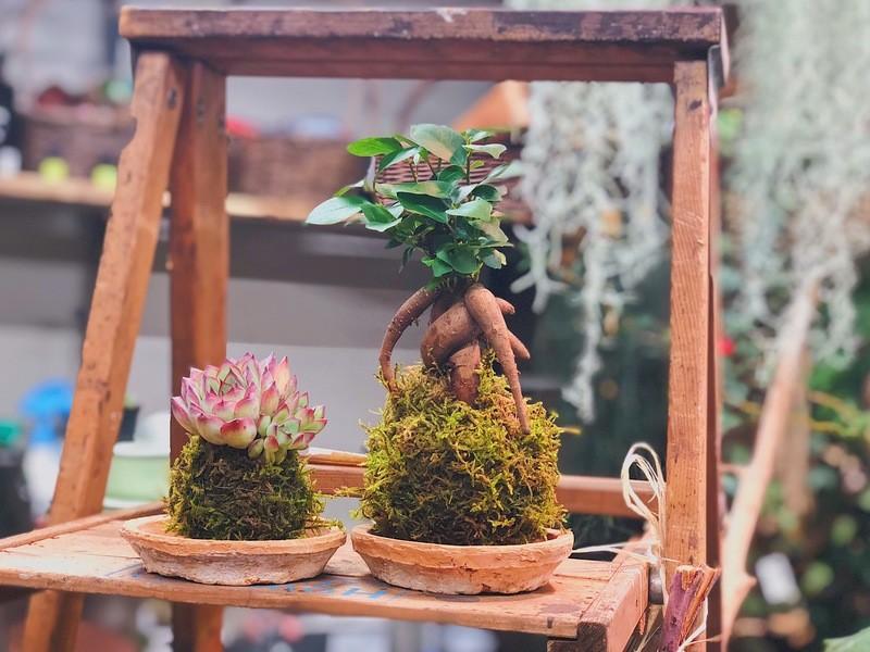 【tukuriba調布店開催】ガジュマルと多肉植物の苔玉作り体験の画像