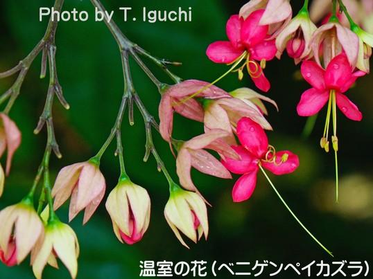 春バラ&温室を撮る(神代植物公園)《初心者向き》の画像