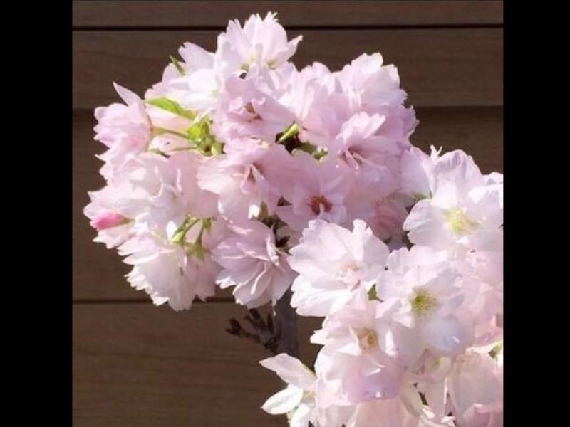 箱庭王が教える!南殿桜の情景盆栽作りの画像