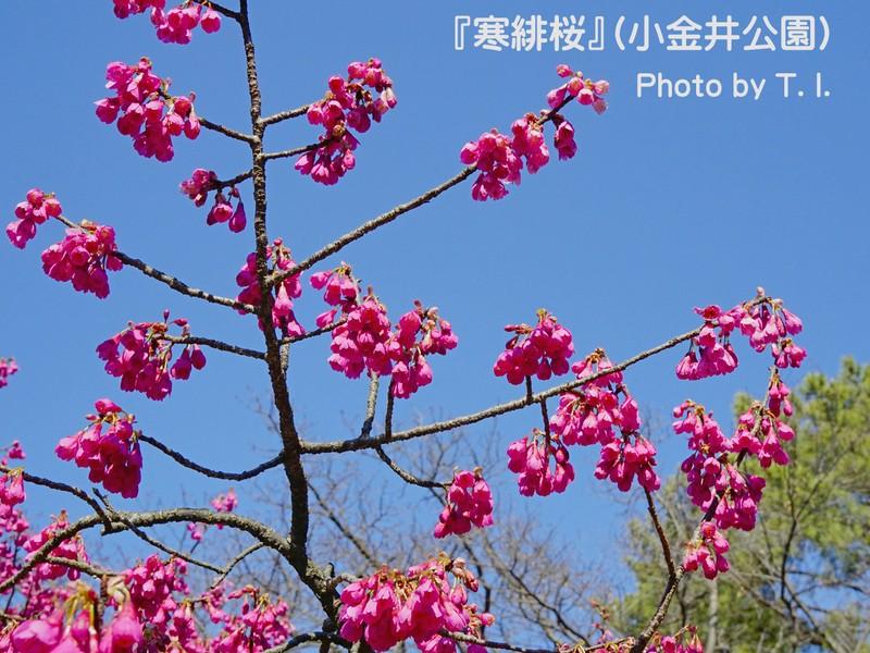 《寒緋桜》南国の桜=情熱の紅色を撮る♪【小金井公園】《ミニ講評付》の画像