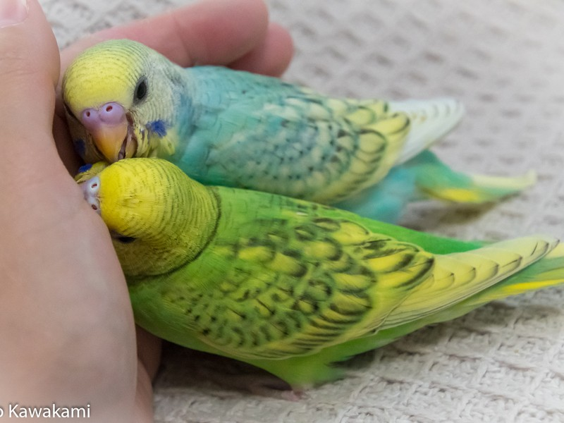 【一眼レフ初心者向け】愛鳥さん写真の撮り方・コツを教えます!の画像