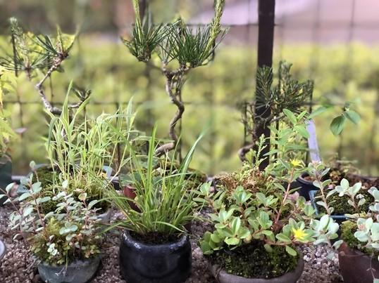 季節の花や樹を使って苔玉を作ってみようの画像