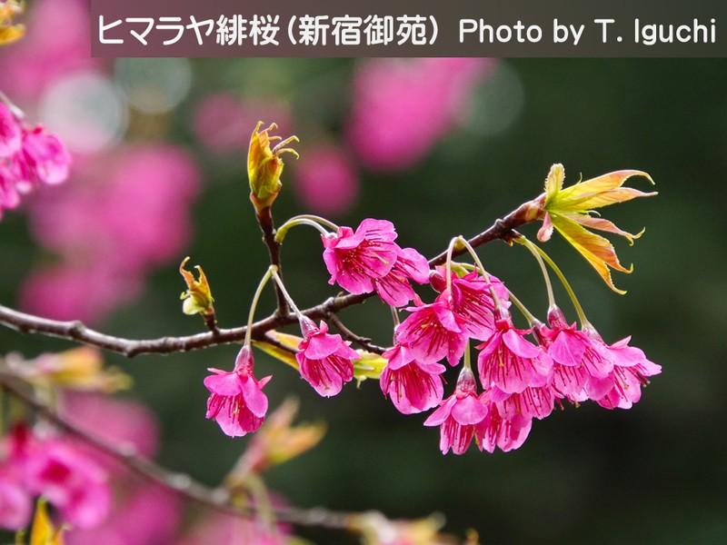 ~可憐な姿が見えてくる~《望遠レンズでせまる桜・撮影会》3月下旬編の画像