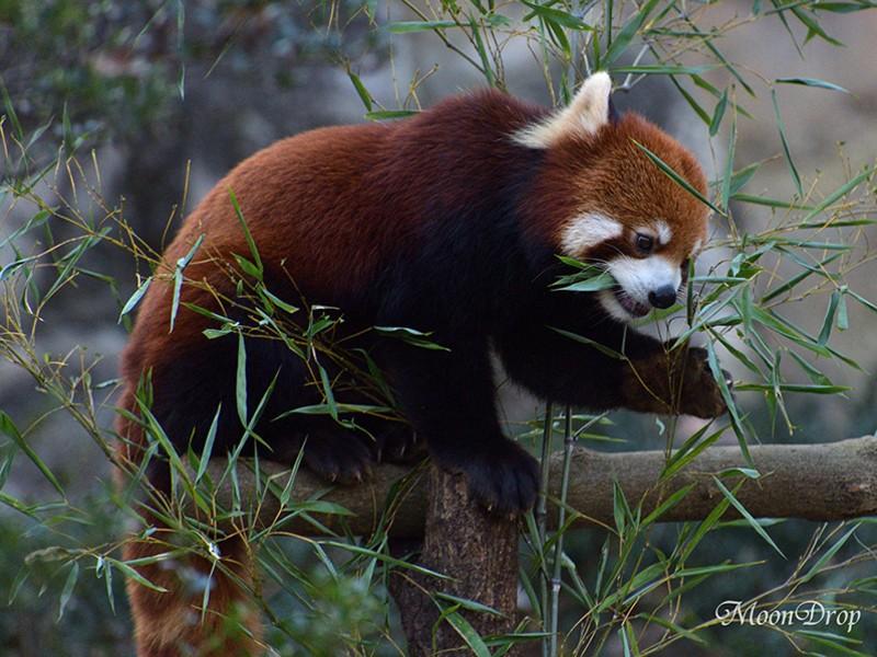 お写ん歩レッスン☆コアラ・オラウータン・レッサーパンダを撮ろう!の画像