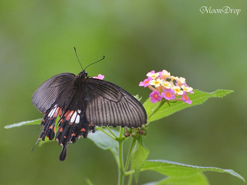 お写ん歩レッスン☆さまざまな種類の蝶が舞う花園で昆虫を撮ろう!の画像