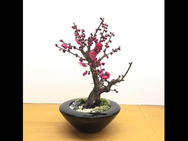 箱庭王直伝! 梅香を愉しむ…紅梅の情景盆栽作りの画像