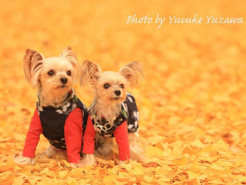 イチョウ並木で愛犬を撮ってみよう!の画像