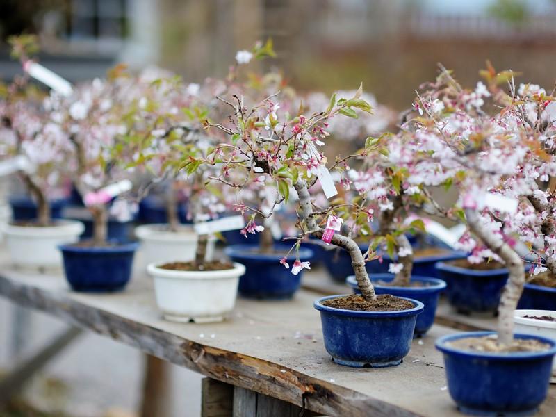 【富山県】本格的な盆栽を作りましょう!の画像