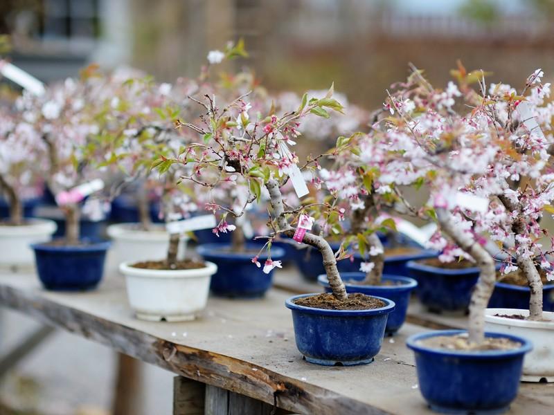 【石川県】本格的な盆栽を作りましょう!の画像