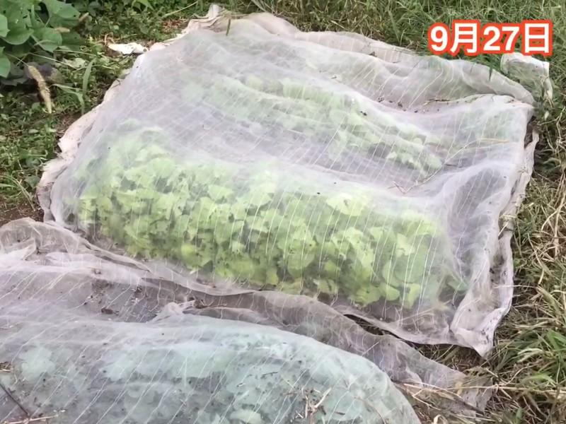 [上級]白菜やキャベツを育てよう、無農薬でオーガニックな自然農法での画像