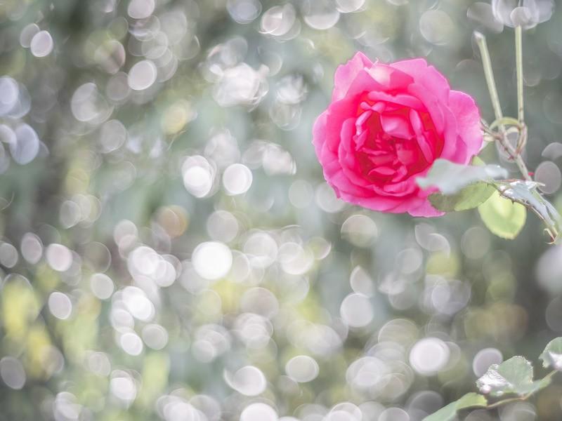 【お花の撮影会】荒牧バラ公園でばらを撮ろうの画像